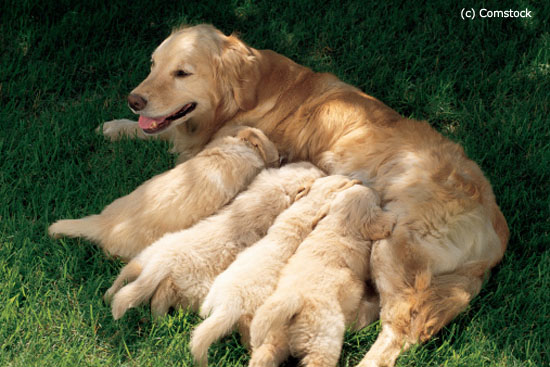 Top Signs of Dog Labor: How to know When Your Dog Will Give Birth (Whelping)