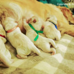 Top 8 Signs of Dog Labor: How to know When Your Dog Will Give Birth (Whelping)